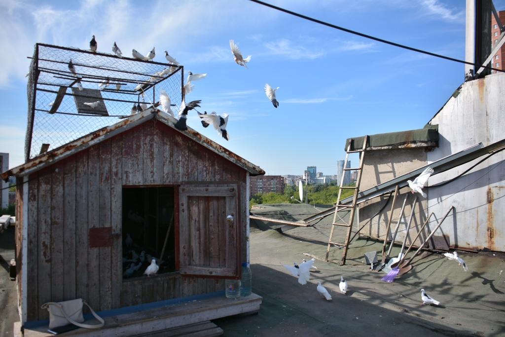 Счастье над головой. Business Class публикует истории пермяков, для которых главная страсть в жизни – голуби