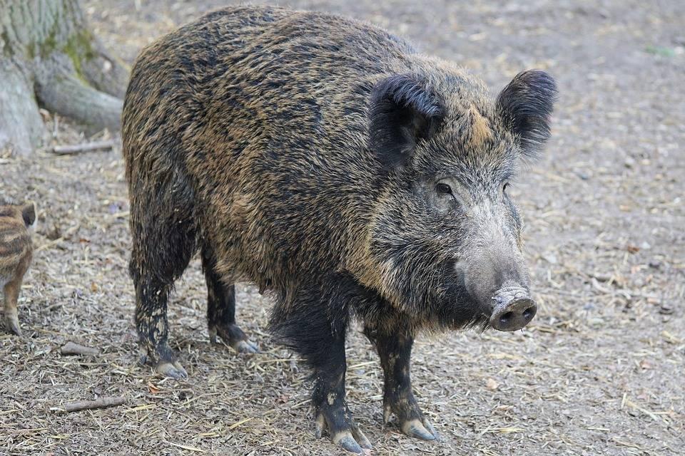ПоПерми носится жирный кабан ипугает прохожих— Полное свинство
